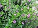 Magenta plant